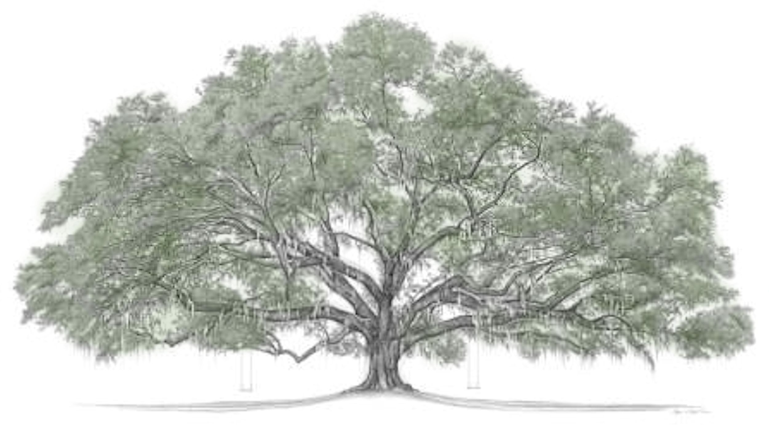 Live Oak Tree Drawing at GetDrawings.com | Free for personal use ...