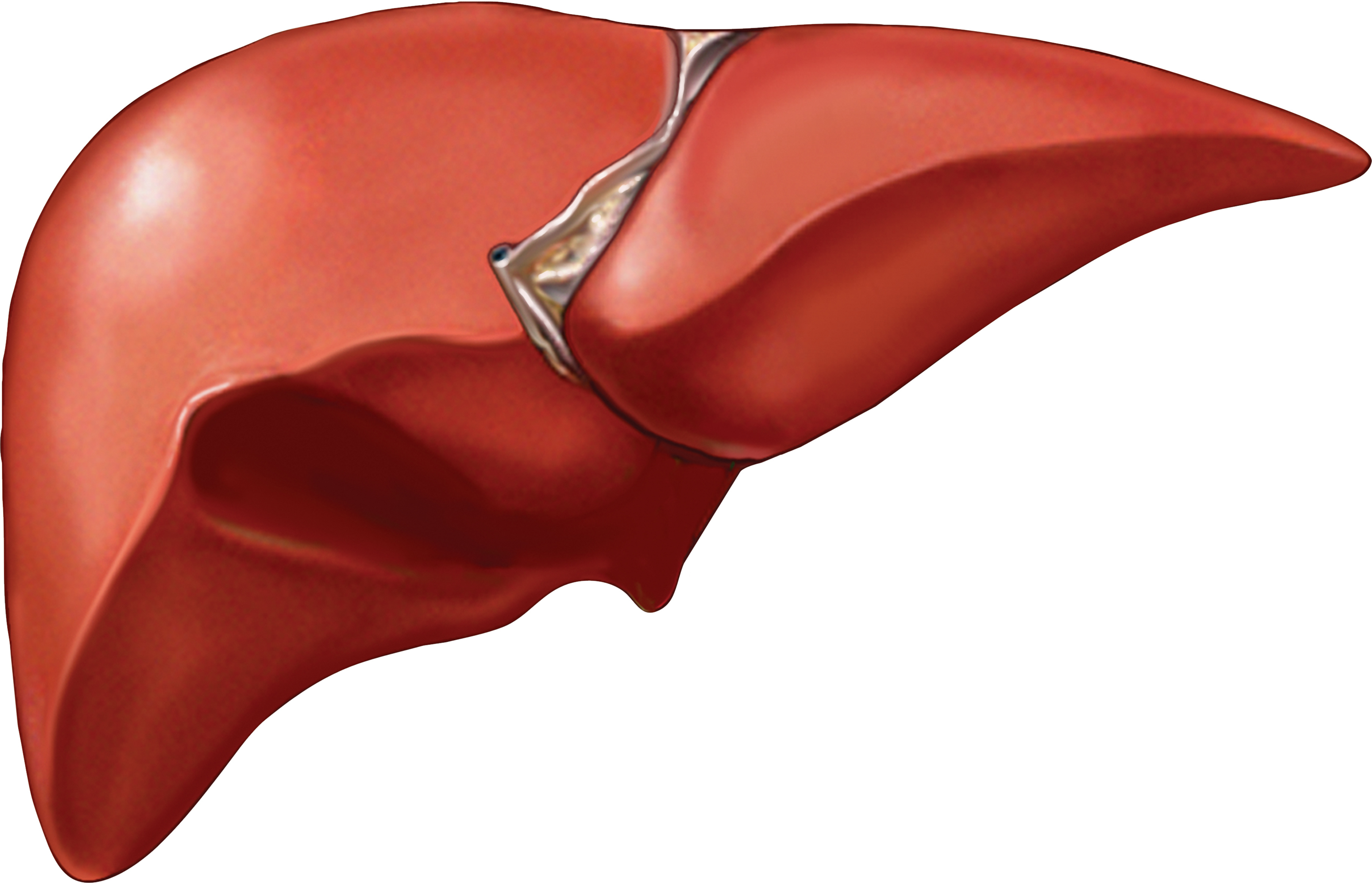 3616x2326 5 Facts You Probably Didn'T Know About Your Liver