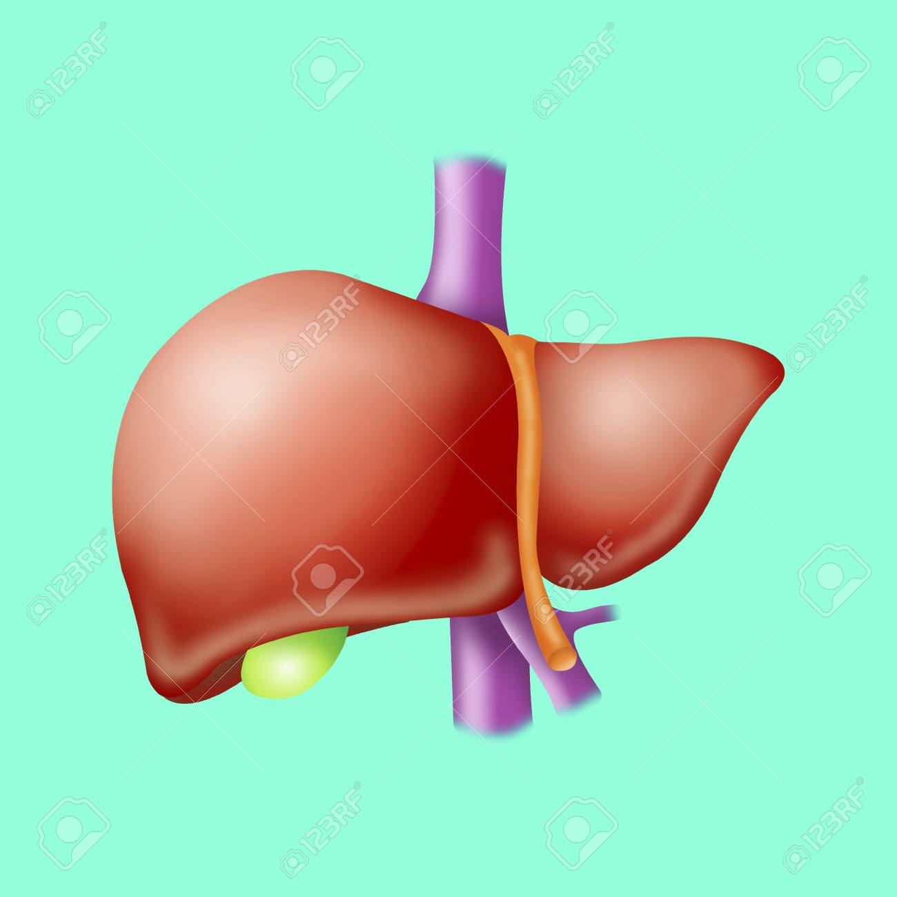 1300x1300 Liver, Drawing Stock Photo, Picture And Royalty Free Image. Image