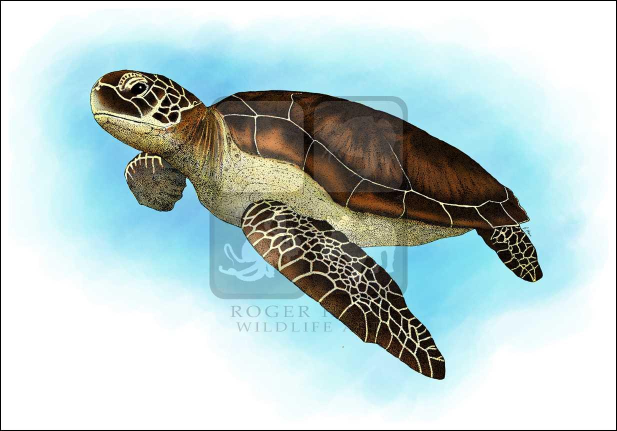 Diagram Of A Sea Colored Sea Turtle - DIY Enthusiasts Wiring Diagrams •