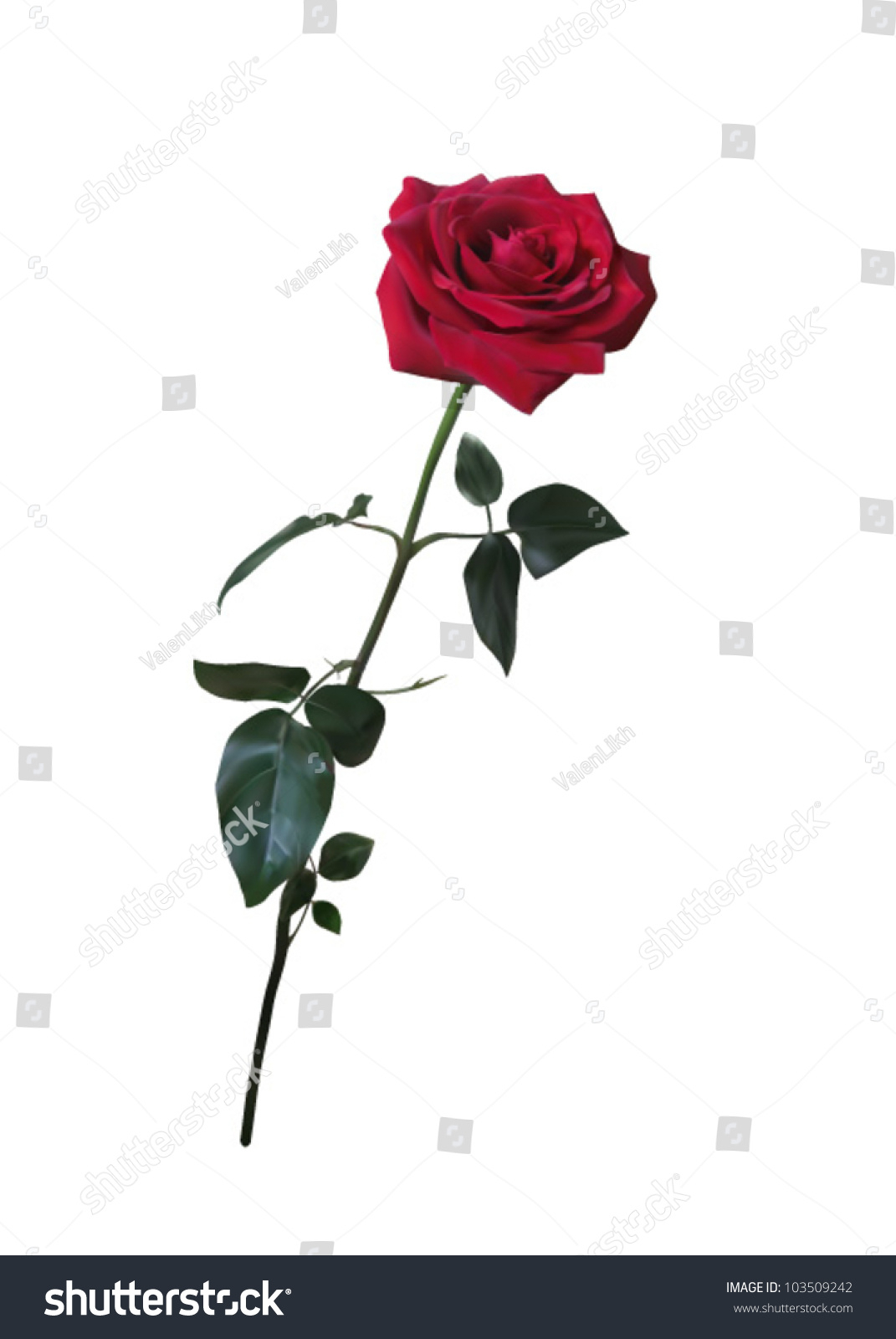 1071x1600 Long Stem Rose Drawing Beautiful Red Rose On Long Stem Stock