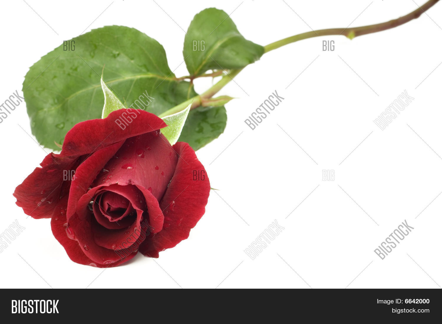 1500x1100 Long Stem Roses Images, Illustrations, Vectors