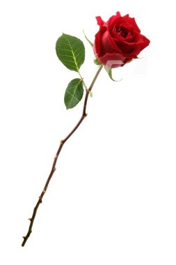 253x380 Long Stem Rose.jpg Pixels Roses For You ~
