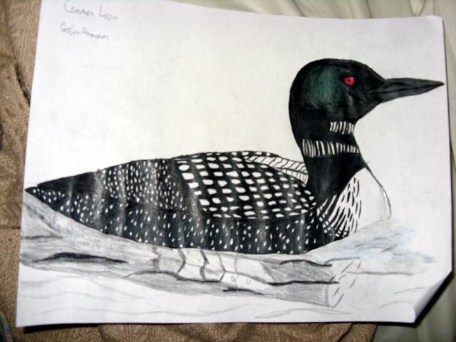 640x480 Bird Drawing Common Loon Phantasy Star Fringes Of Algo