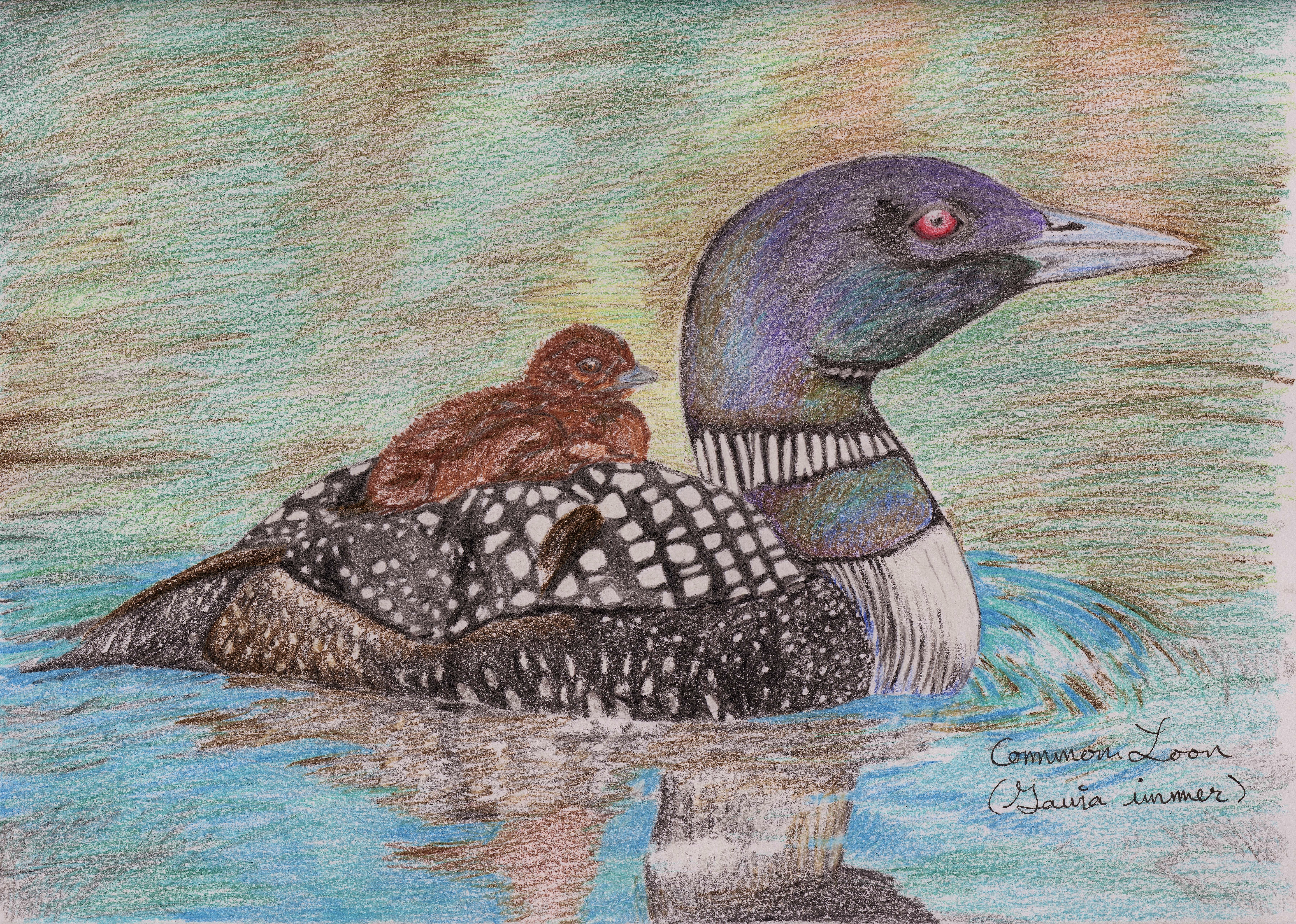 7218x5148 Common Loon (Drawing) Standingoutinmyfield