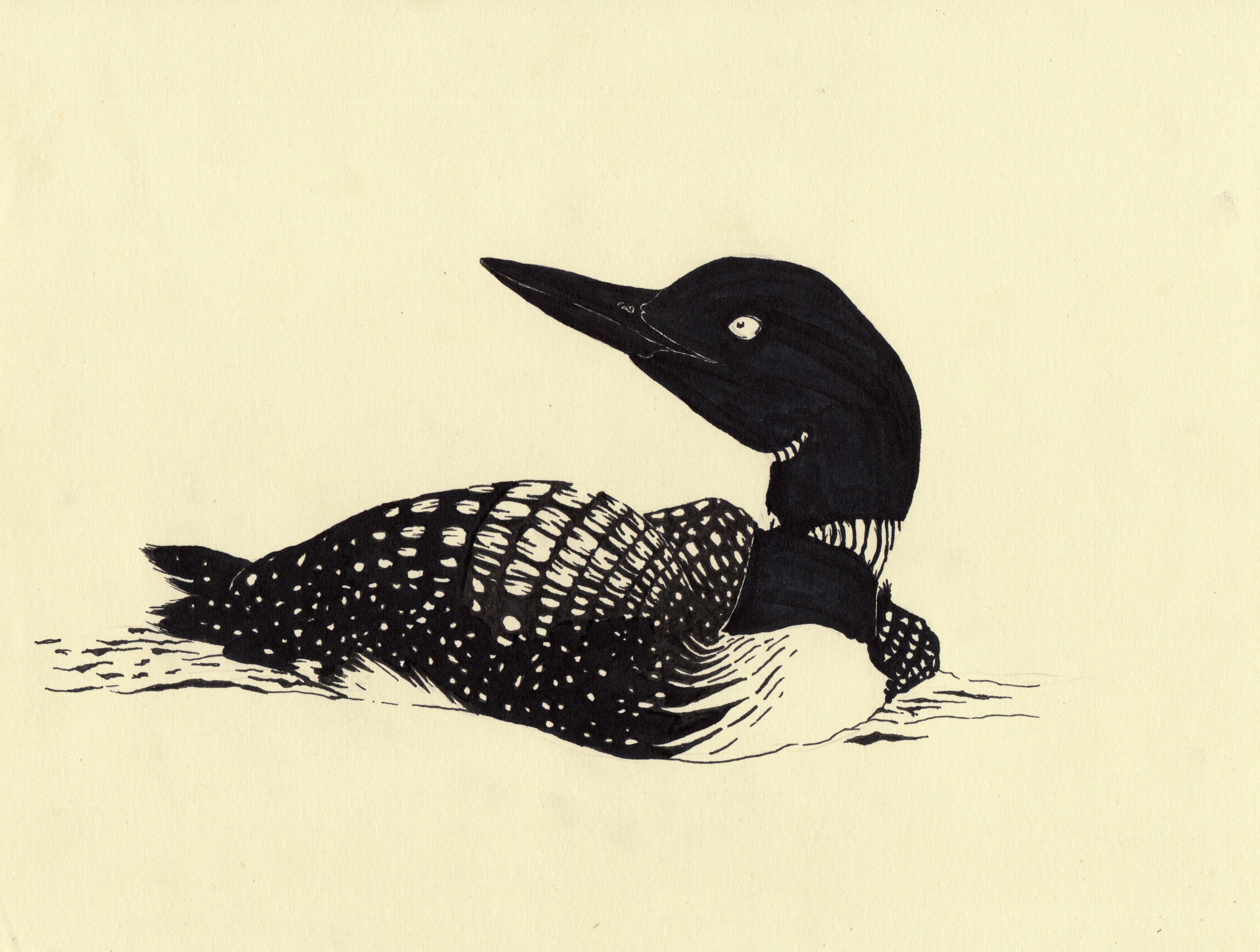 loon drawing at getdrawings com free for personal use loon drawing