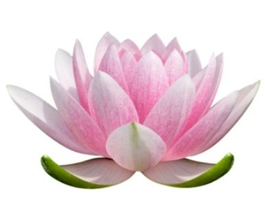 Lotus flower drawing color at getdrawings free for personal 385x297 11 best flowers images on pinterest lotus flowers lotus mightylinksfo