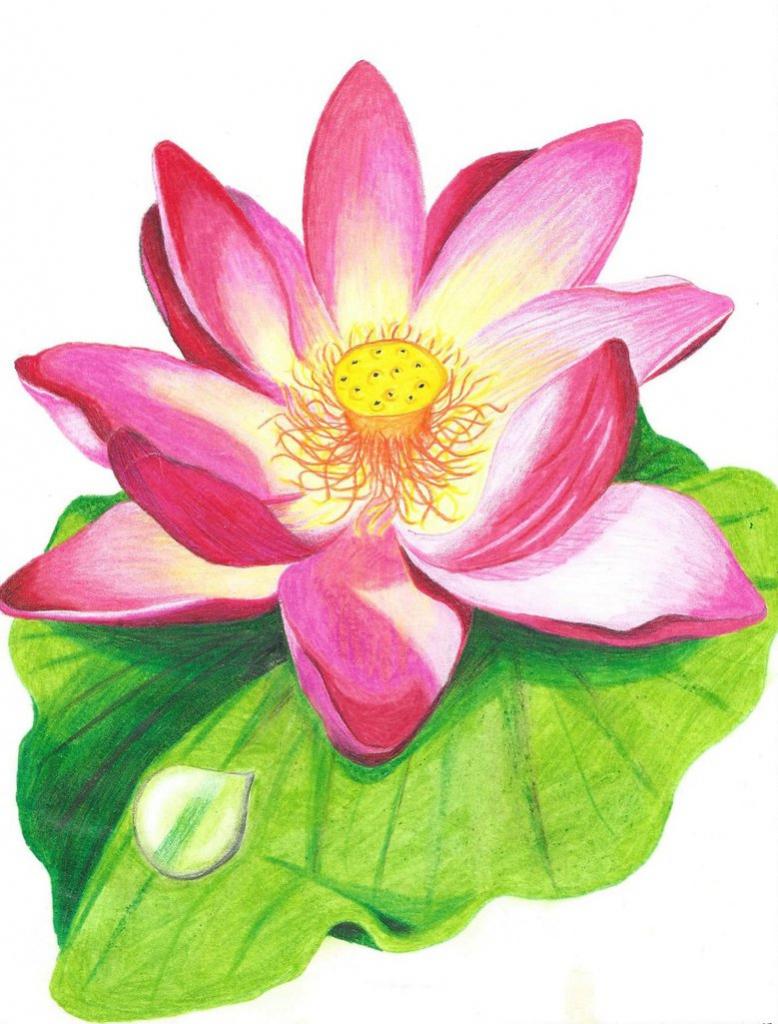 778x1024 Pencil Colour Sketches Flowers Lotus Flower Colour Drawing Image