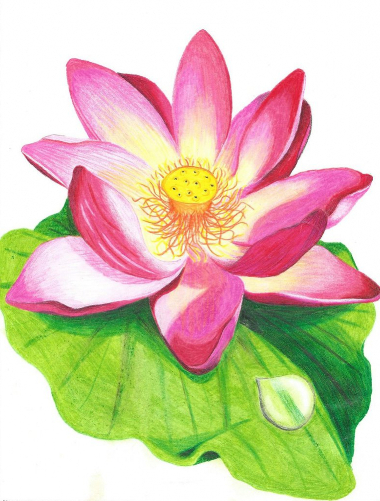 778x1024 Sketch Of Red Lotus Of Colour Pencil Lotus Flower Pencil Drawing