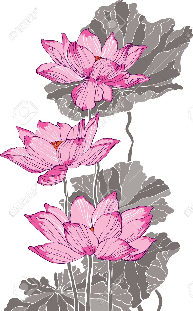 809x1300 Three Pink Grey Lotus Drawing For Decoration And Design Royalty