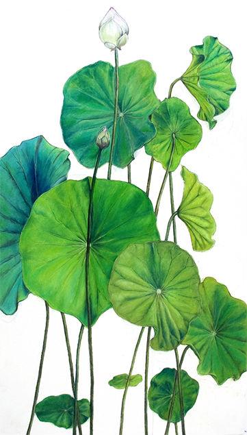 361x635 Botanical Drawings Lotus Ideas Botanical Drawings