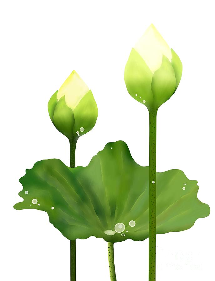 687x900 Fresh White Lotus Flowers And Leaf On White Background Drawing By