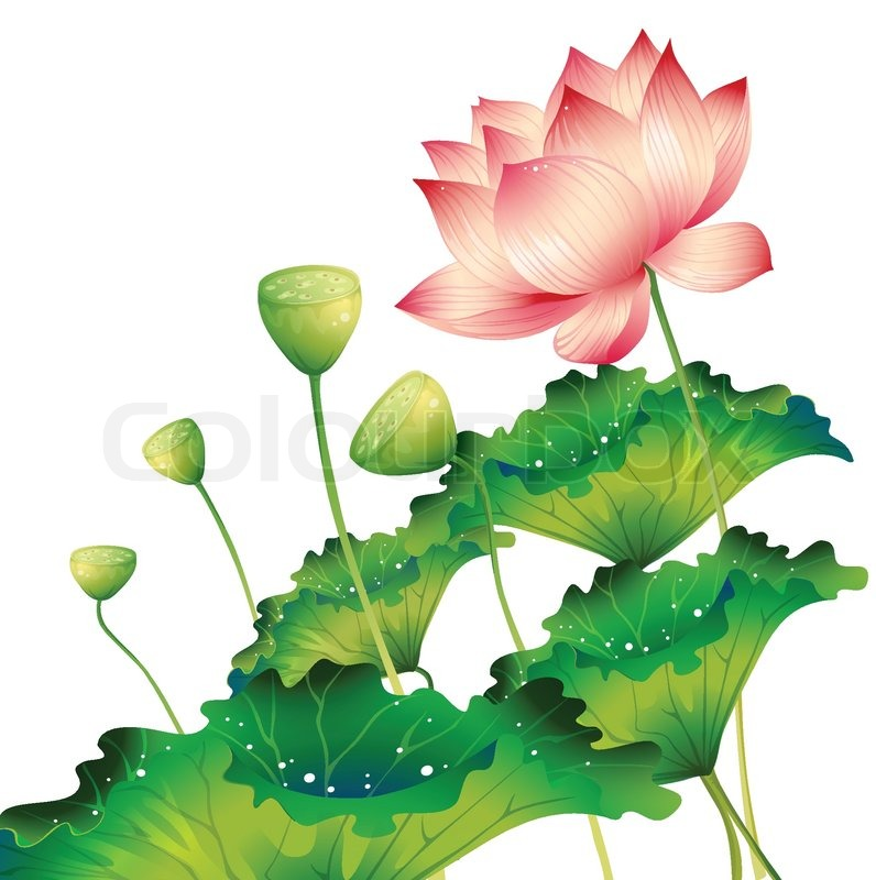 796x800 Oriental Lotus Flower Isolated With Lotus Leaf Stock Vector