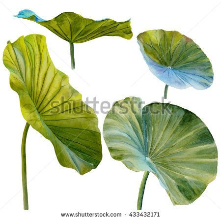 450x447 Water Lily Leaf Or Lotus Leaf. Hand Drawn, Watercolor, Isolated