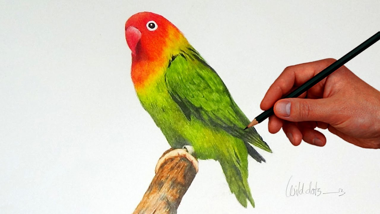 1280x720 Colour Pencil Sketch Birds Drawing A Love Bird With Simple Colored