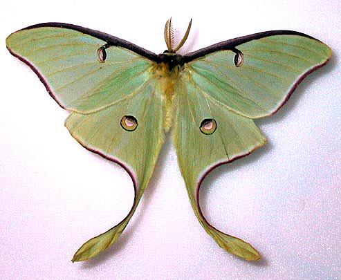 493x405 Actias Luna (Luna Moth)