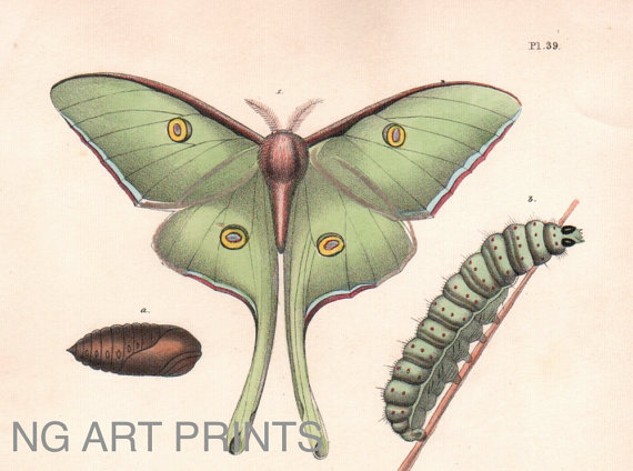 570x424 Antique Insect Moth Print Luna Moth Handcolored By Ngartprints