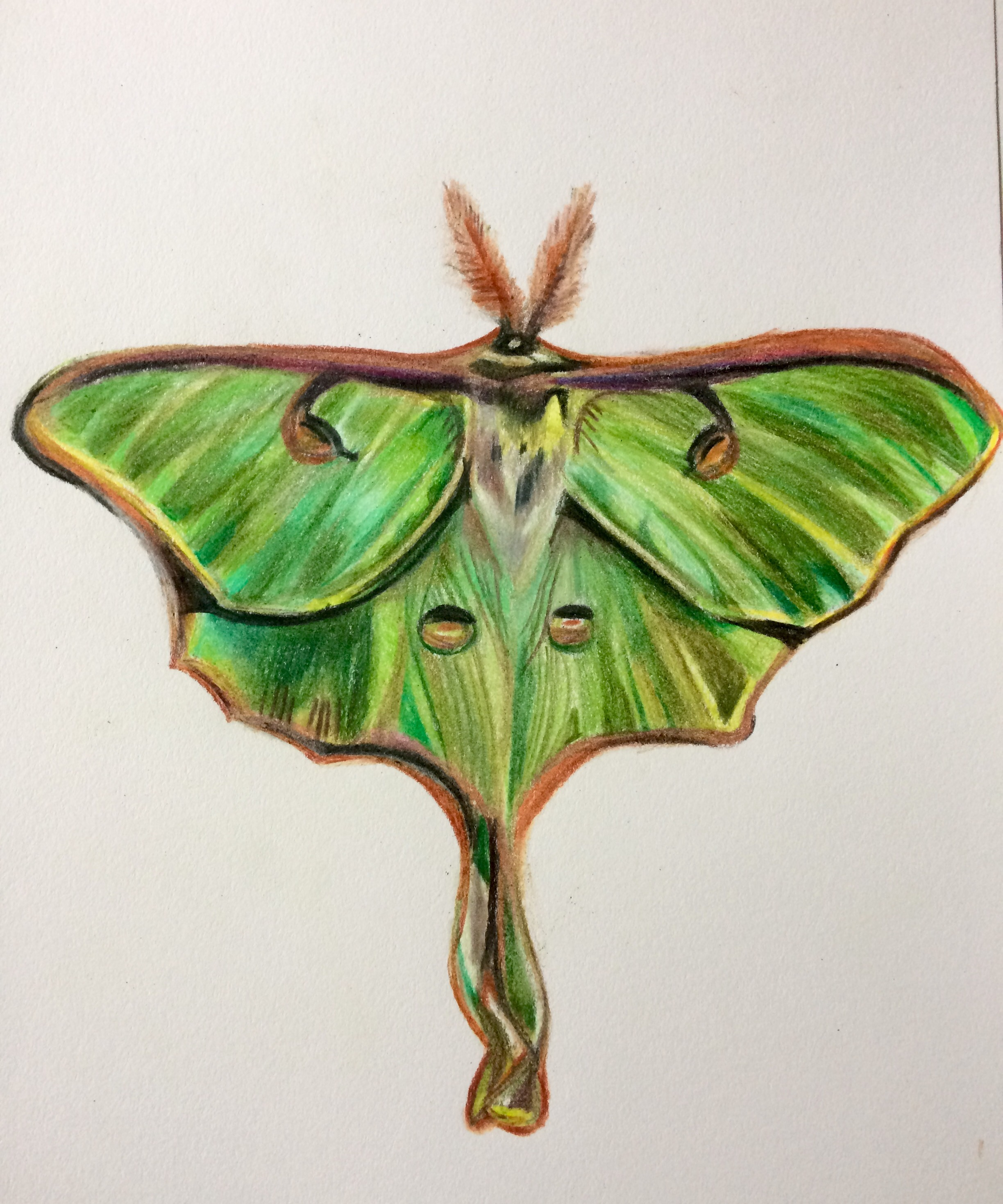2448x2938 Drawing A Real Live Fairy The Luna Moth The Perpetual Creator