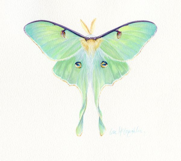 600x531 Luna Moth Bees, Butterflies Amp Moths Moth, Tattoo