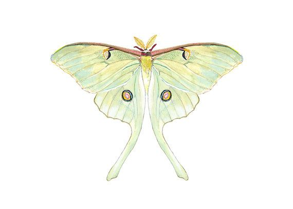 570x407 Luna Moth Print. Nature Decor. Moth Art, Via Etsy. Have A Mint