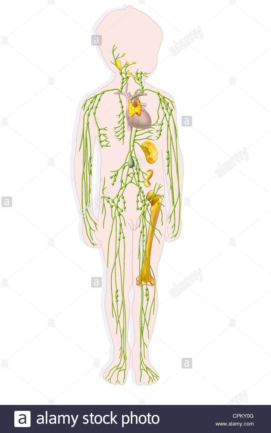 870x1390 Child Lymphatic System, Drawing Stock Photo 48381440
