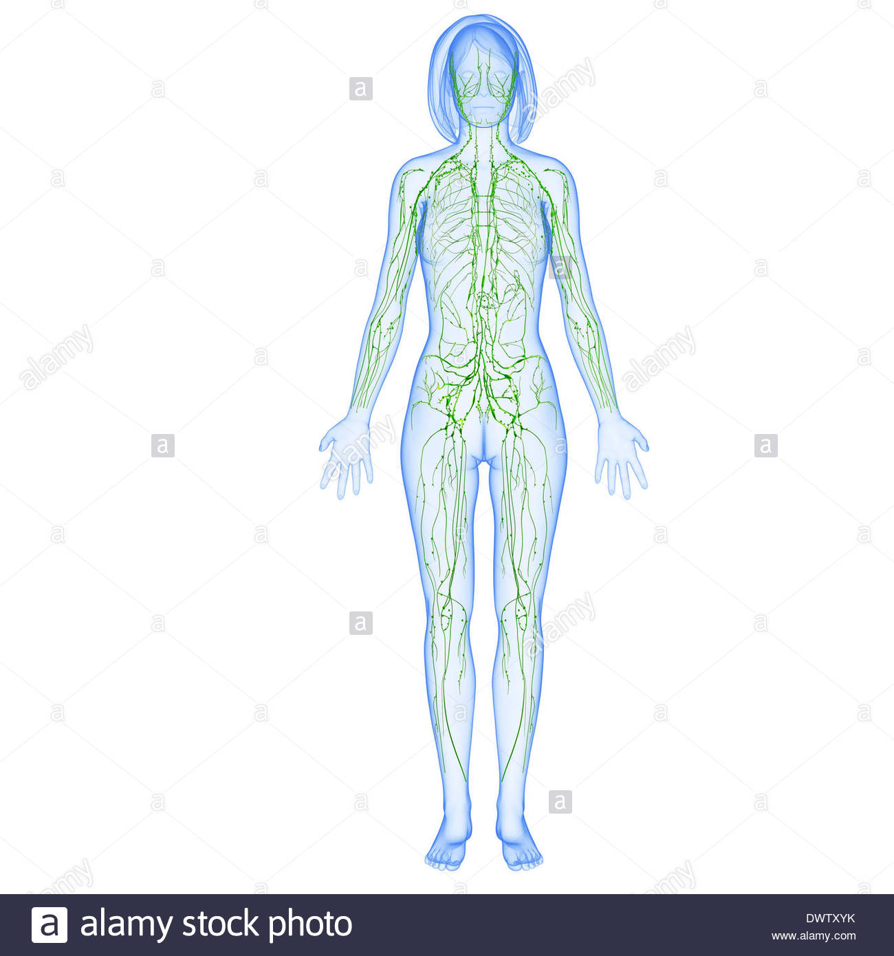 1300x1390 Lymphatic System Drawing Stock Photo 67545511