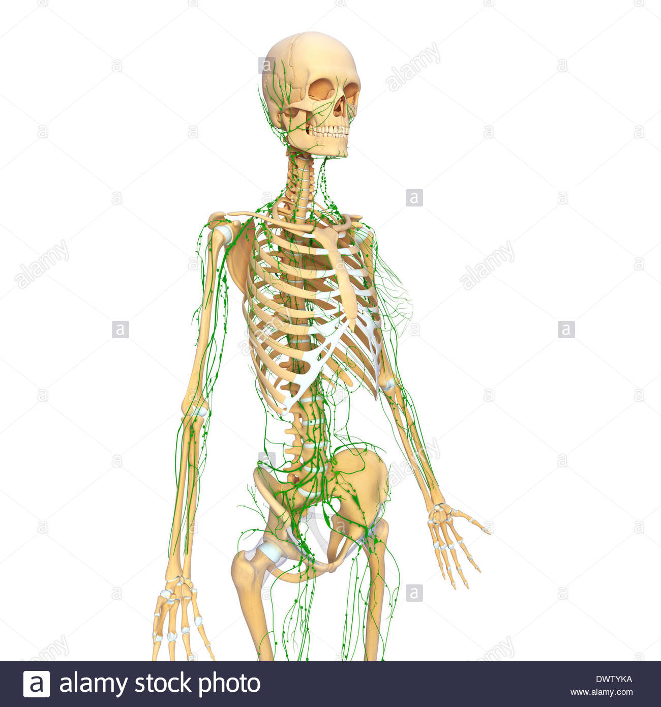 1300x1390 Lymphatic System Drawing Stock Photo 67546062