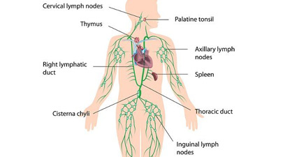 405x225 The Human Lymphatic System
