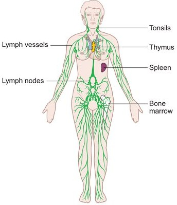 344x399 The Lymphatic System Diagrams, Function And Role, Immune Response