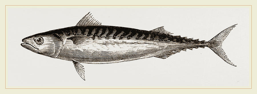 900x331 Mackerel Drawing By Litz Collection
