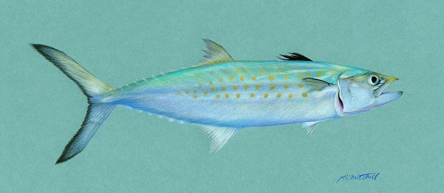 900x392 Spanish Mackerel Drawing By Heather Mitchell