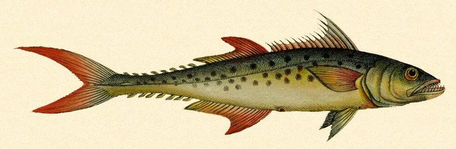 900x294 Vintage, Full Color King Mackerel Drawing