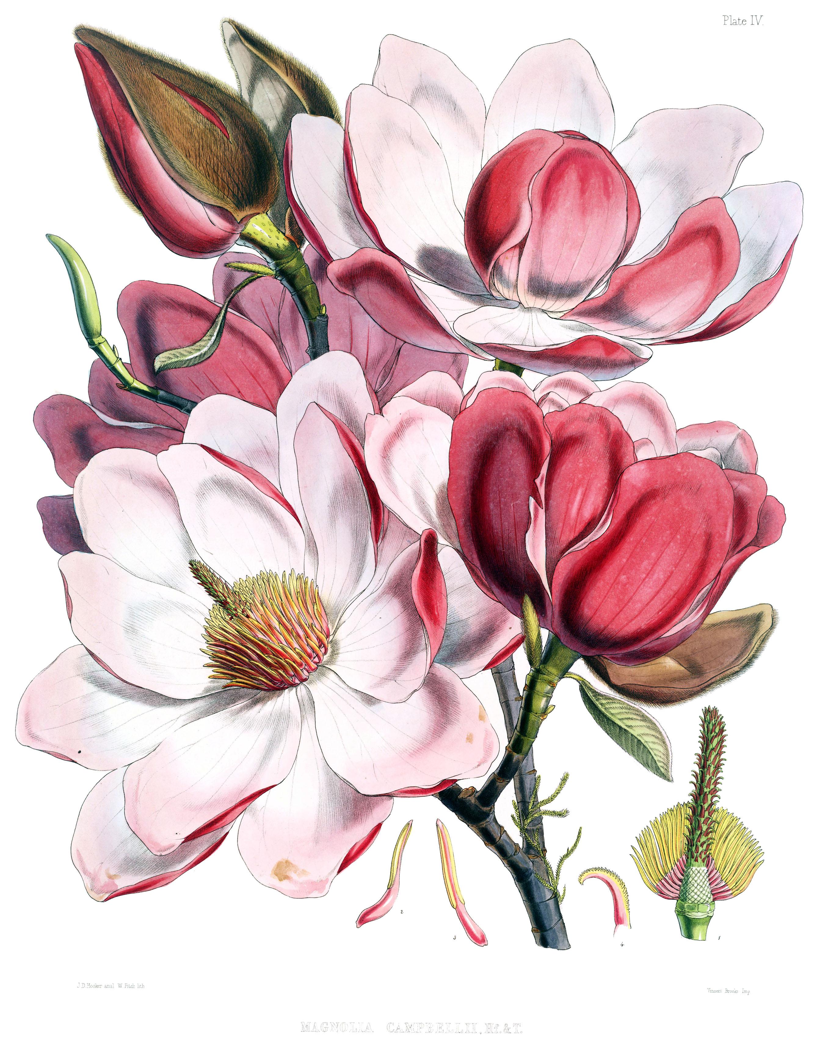 2676x3416 Filemagnolia Campbellii Flowers.jpg
