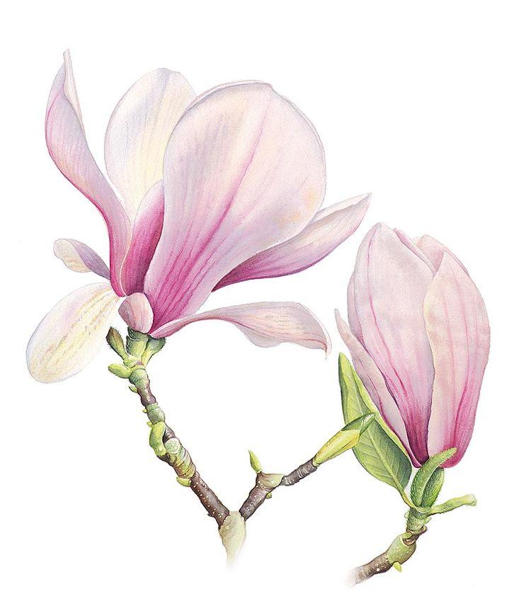 736x849 Magnolia Illustration Photos, Magnolias, Painting Flowers