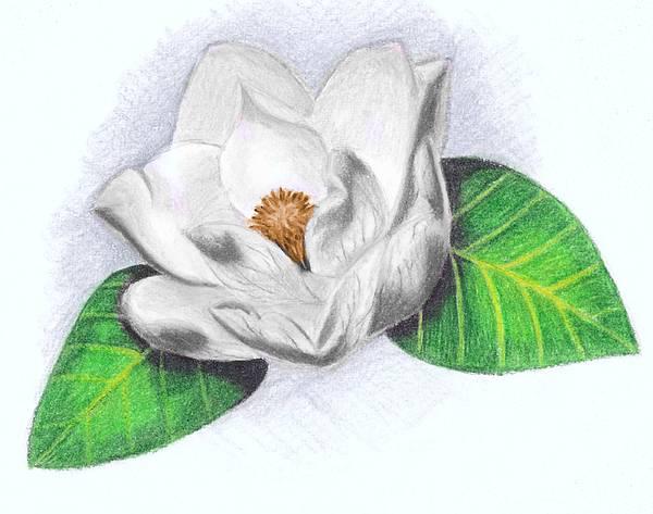 600x473 White Magnolia Drawing By Scarlett Royal