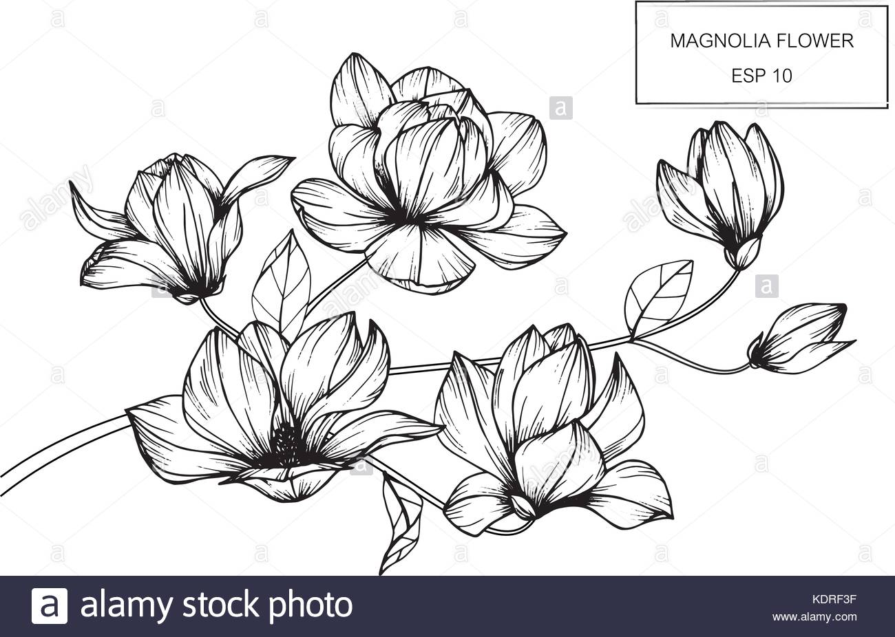 1300x926 Magnolia Flower Drawing Illustration. Black And White With Line