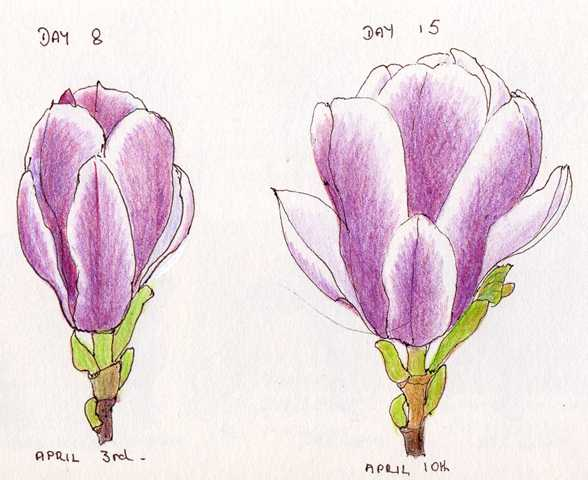 588x480 Sketching In Nature Magnolia Flower