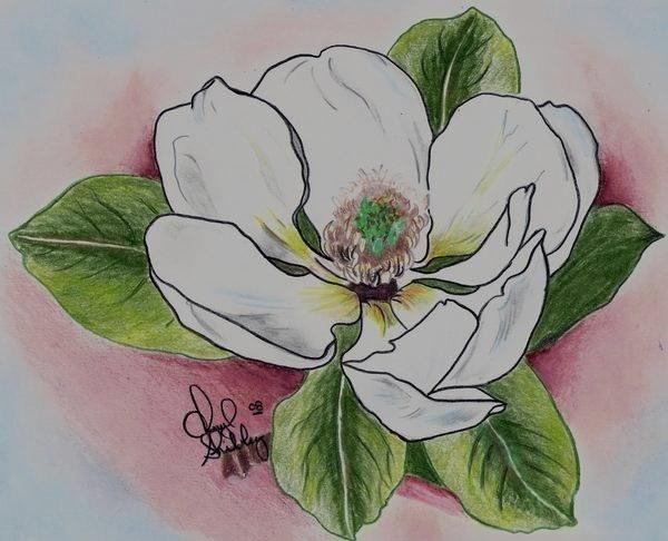 600x486 Flower Drawings Magnolia Drawing By Cheryl Shibley