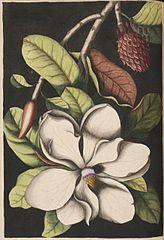 164x240 Filesouthern Magnolia Tree Drawing.jpg