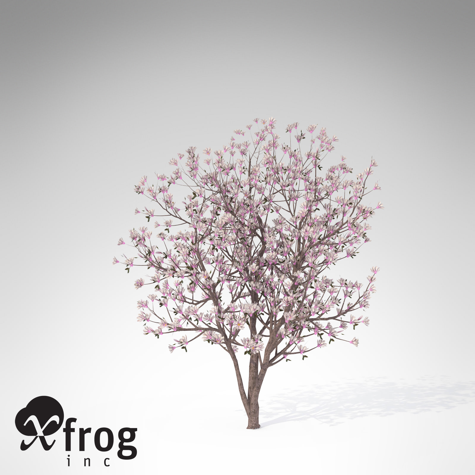 1600x1600 Xfrogplants Saucer Magnolia 3d Cgtrader