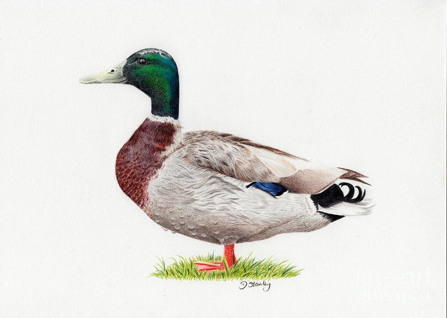 900x641 Drake Mallard Drawing Animals Amp Birds Mallard