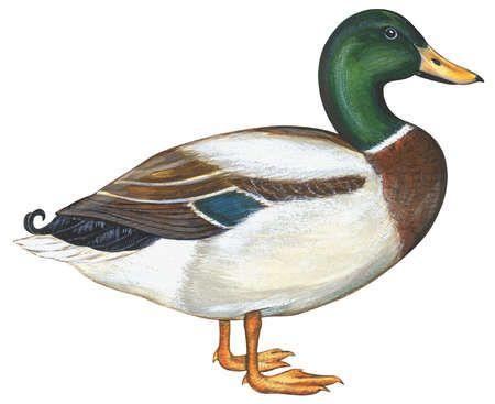 450x367 Mallard Duck (Anas Platyrhynchos) Animals Mallard