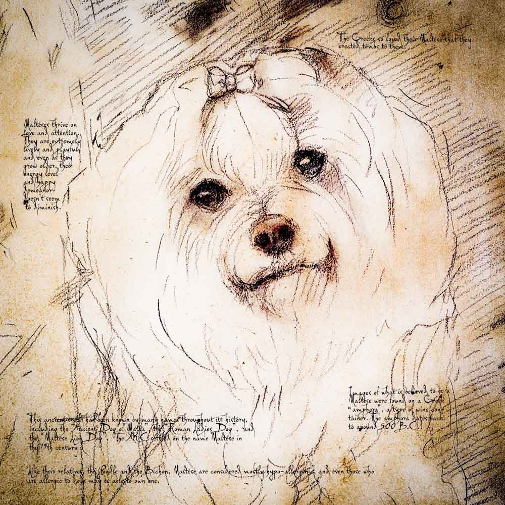 1000x1000 Maltese Face Detail Of A Da Vinci Style Drawing