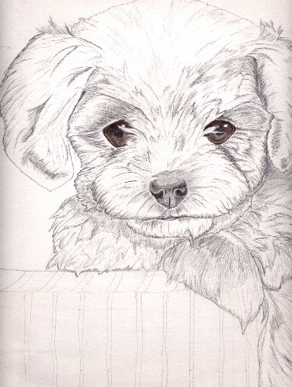 415x549 Maltese Terrier Wip By Xxxx Carbon 6 Xxxx