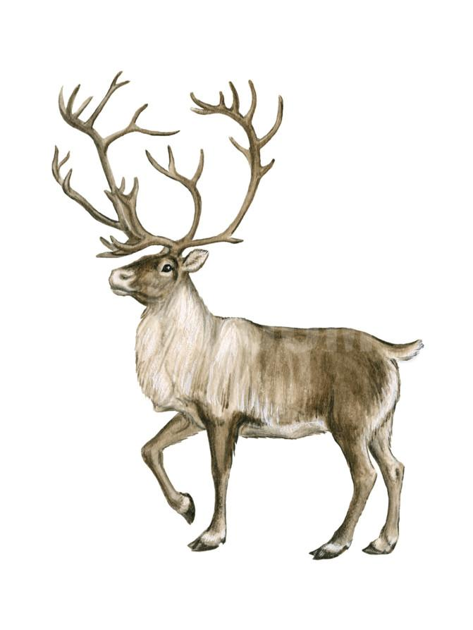 671x894 Barren Ground Caribou (Rangifer Arcticus), Mammals Digital