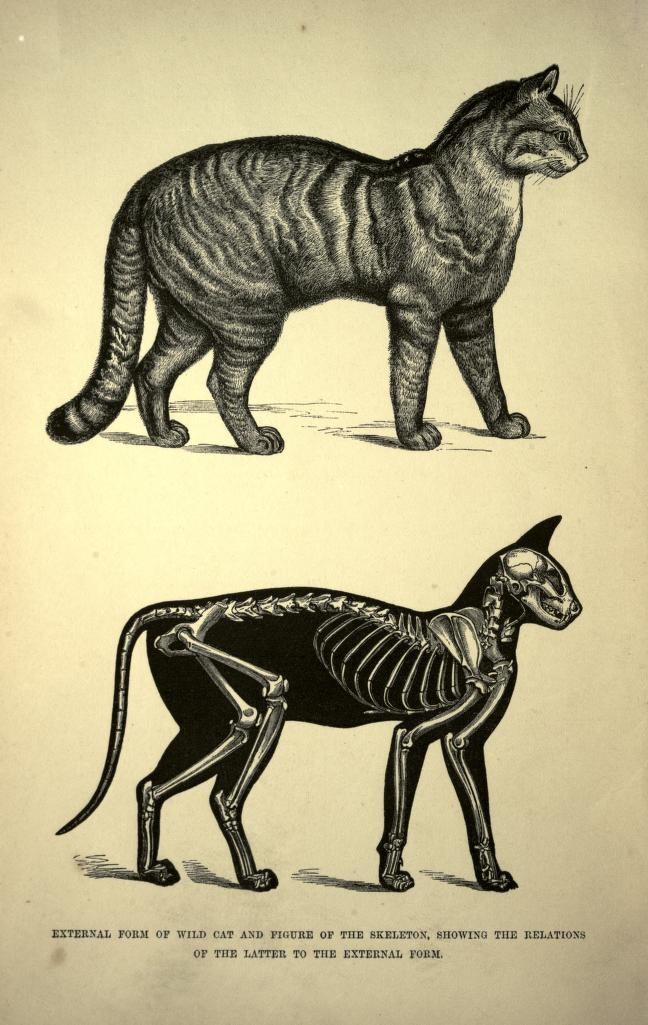 648x1025 From Cat An Introduction To The Study Of Backboned Animals