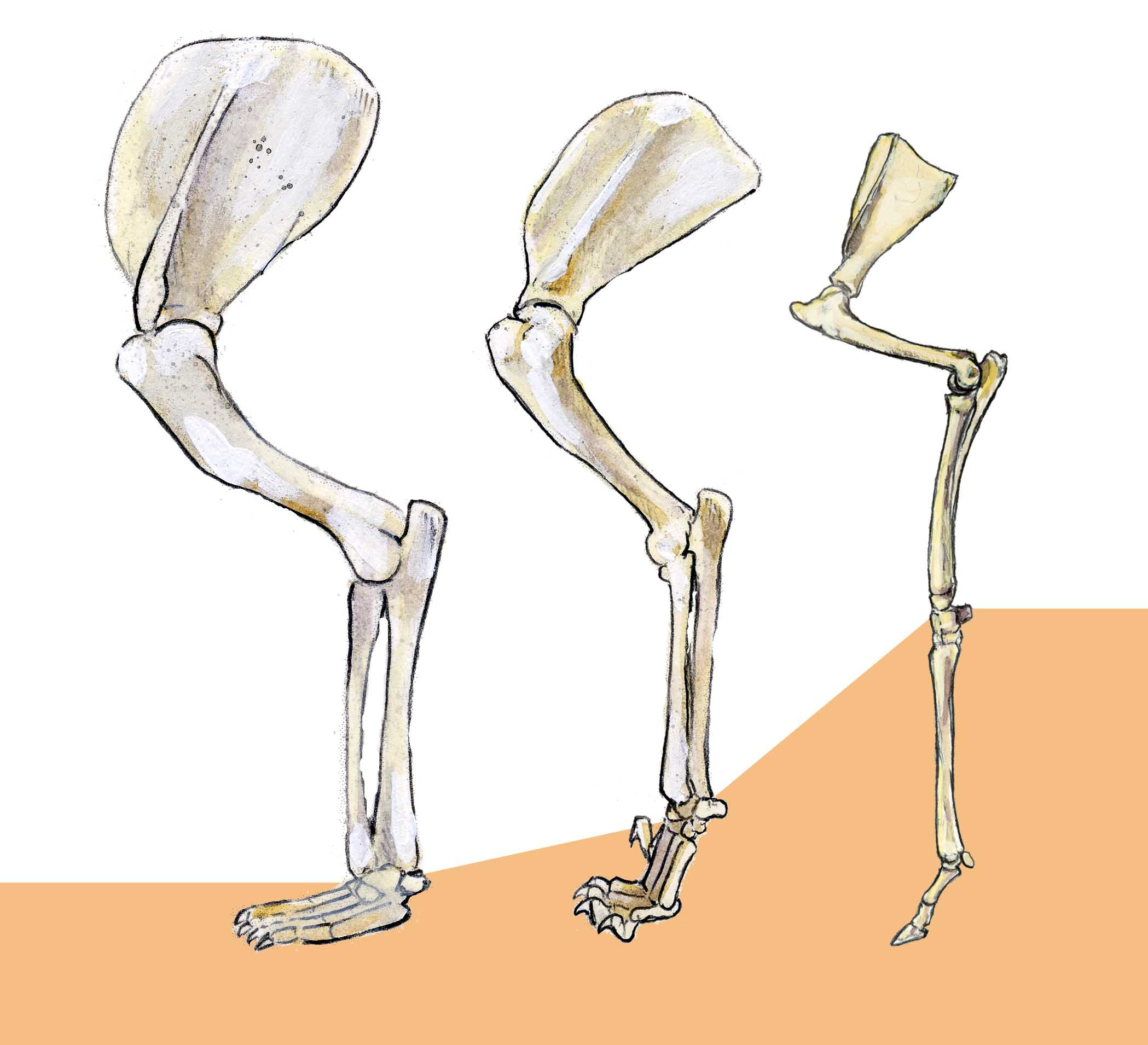 2098x1910 How To Draw Mammals Comparative Anatomy Of The Legs Bones