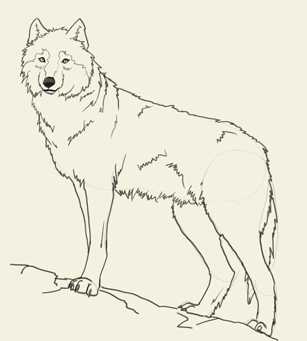 600x666 How To Draw Wolf