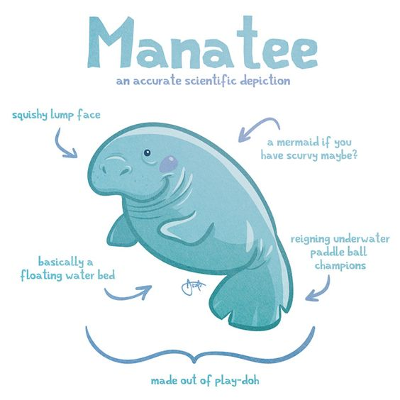 564x564 Will Draw For Cookies Accurate Depictions Of Animals Manatee