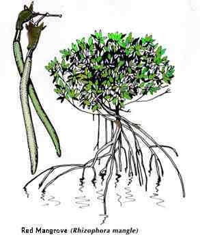 293x353 Garf's Using Mangroves In Mud Filters